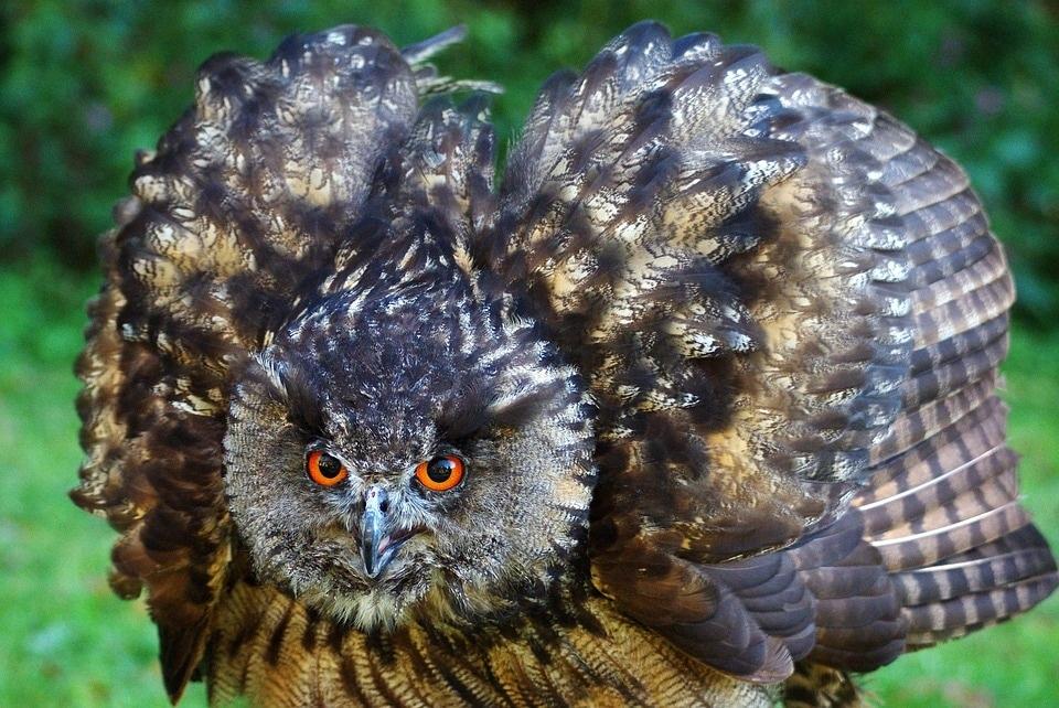 eagle-owl-1337089_960_720