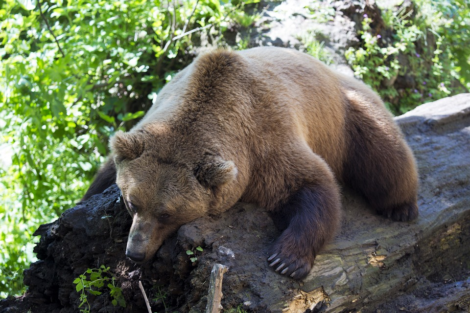 european-brown-bear-1477814_960_720