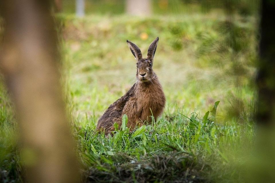 hare-2892592_960_720