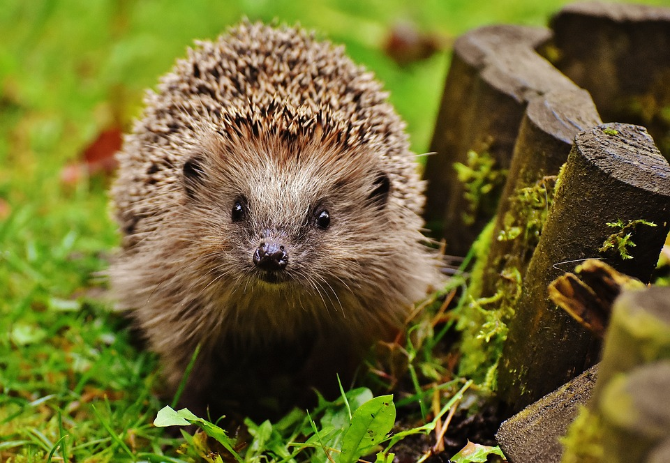 hedgehog-child-1759027_960_720