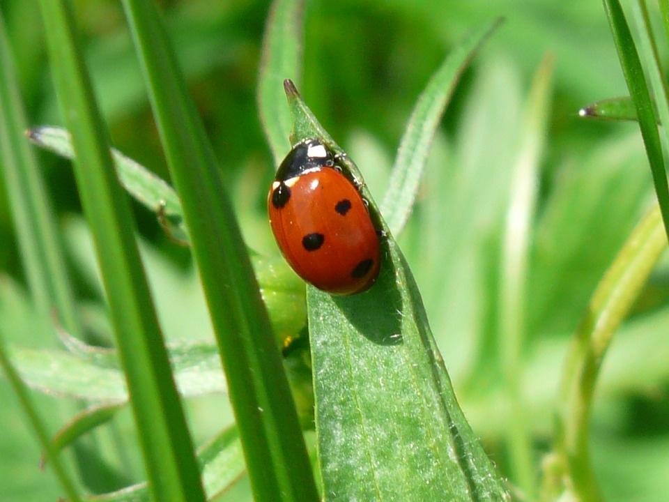 ladybug-54311_960_720