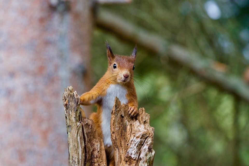 squirrel-2827760_960_720