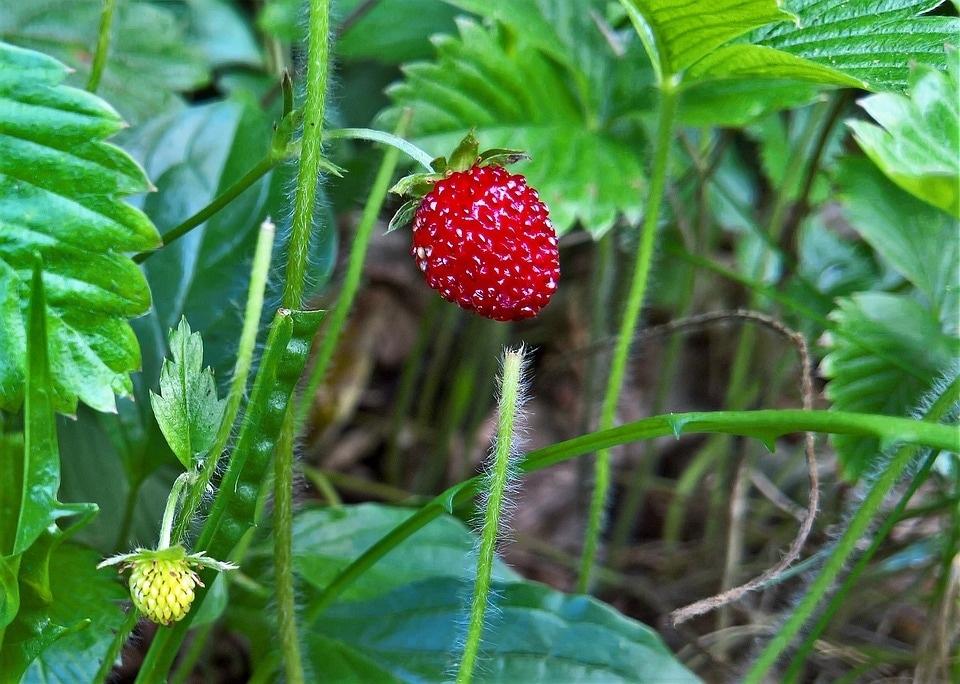 wild-strawberry-3146512_960_720