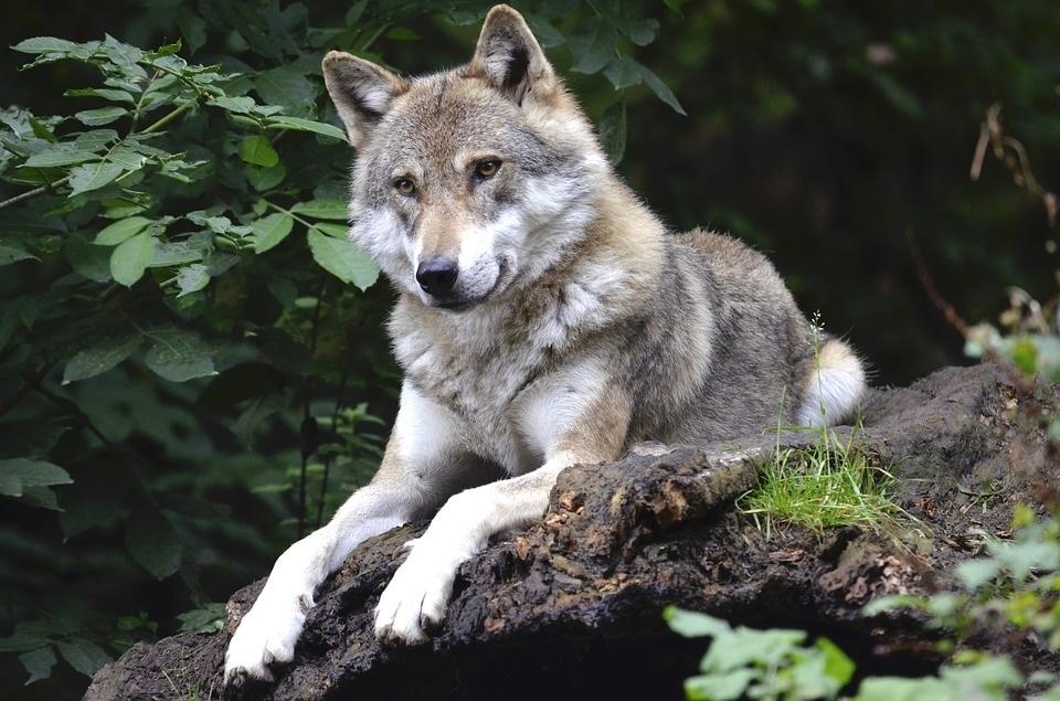 wolf-1336229_960_720